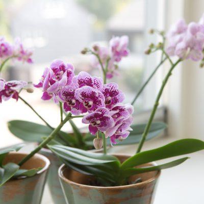 Maak kennis met Phalaenopsis